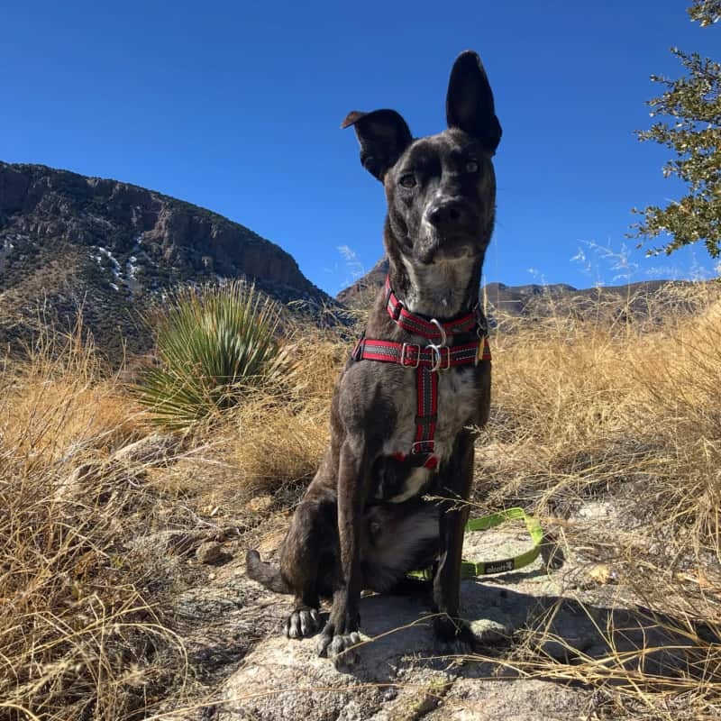 Dog sitting on a rock along a pet friendly trail at Kartchner Caverns State Park near Tucson, AZ