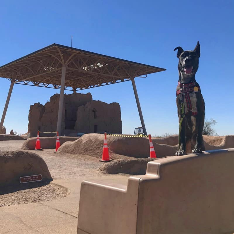 Brindle dog posing with the Great House in the background at Casa Grande Ruins National Monument in Arizona