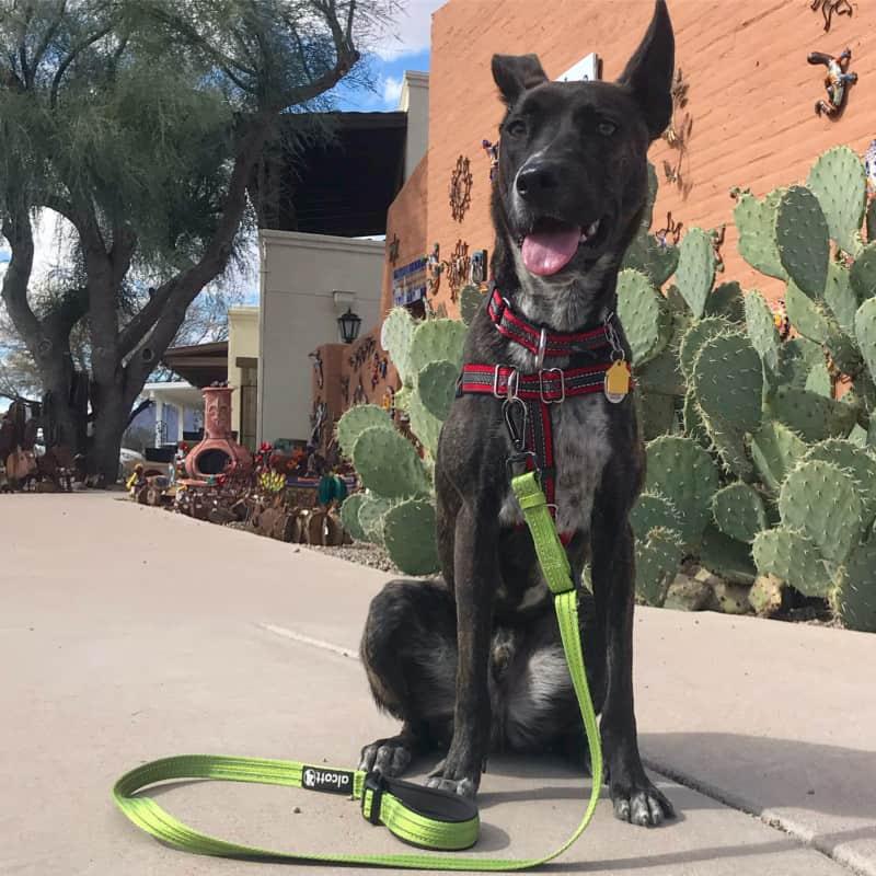 Happy brindle dog sitting on the sidewalk in Tubac, AZ