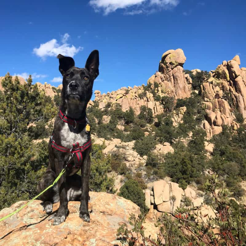 Brindle dog posting along a dog friendly trail at Cochise Stronghold near Tucson, AZ