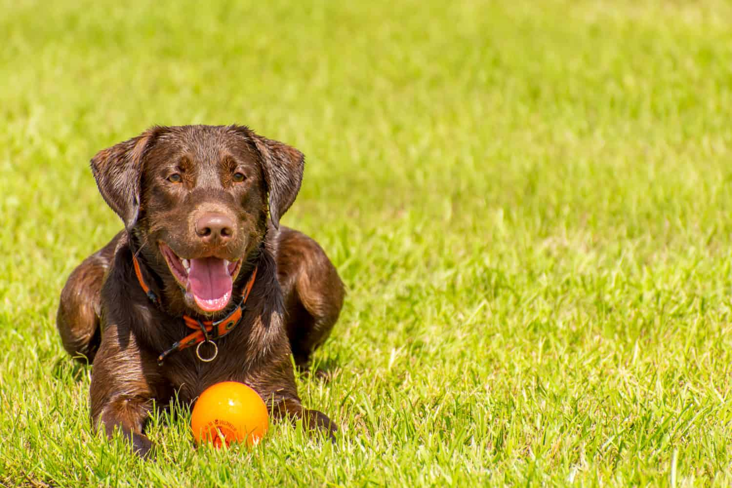 Chocolate Labrador dog laying in the wet grass with an orange ball in the dog park