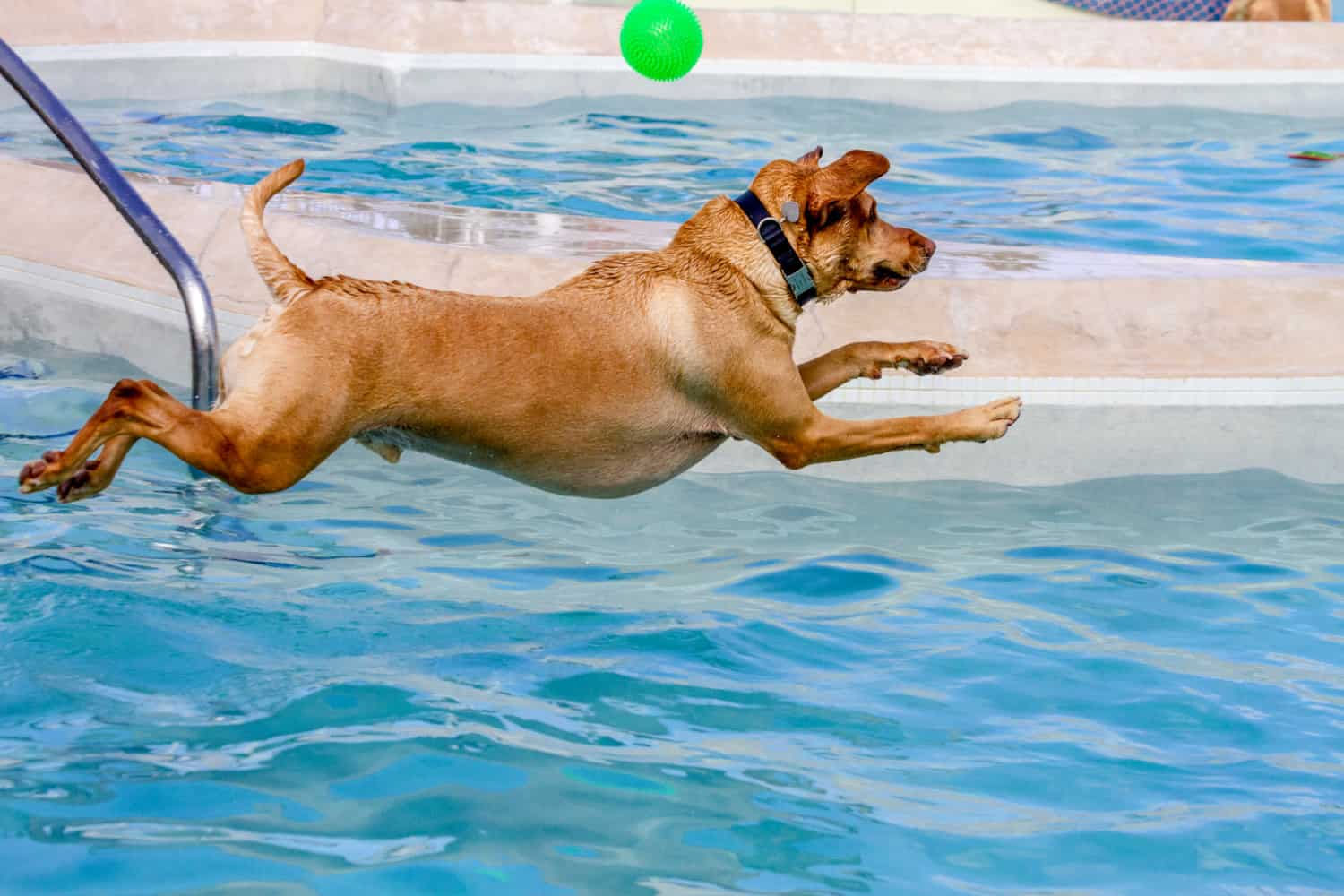 Yellow Labrador Retriever jumping into swimming pool to fetch ball