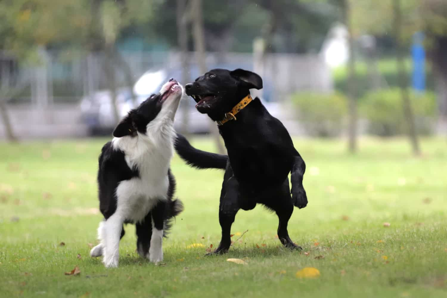 Two dogs playing together in a dog park