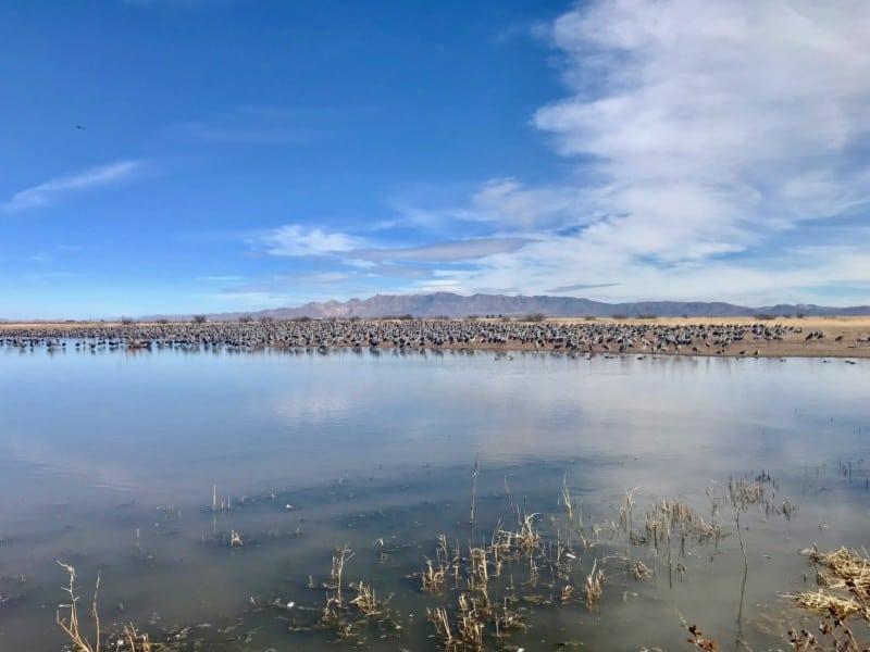 Sandhill cranes at Whitewater Draw near Tucson, AZ