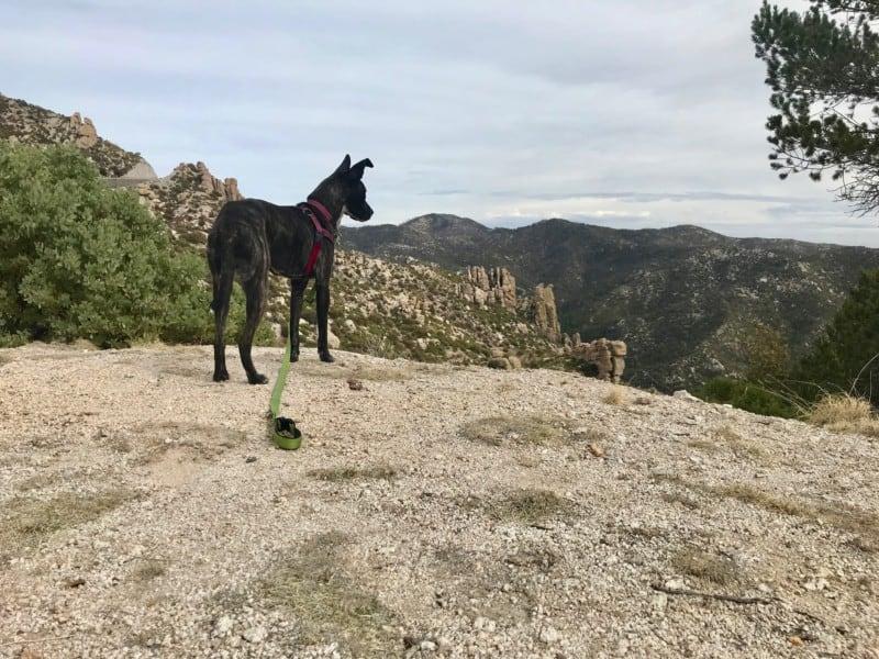Brindle dog admiring the view on Mount Lemmon near Tucson, AZ
