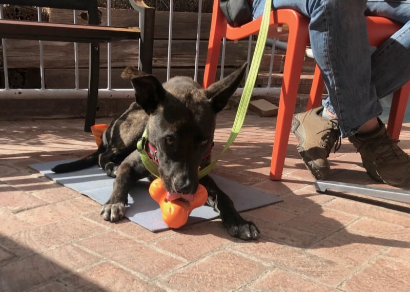 Brindle dog having lunch on the pet friendly patio at Shelby's Bistro in Tubac, AZ