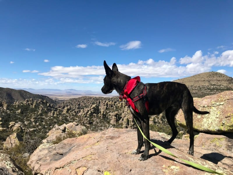 Brindle dog looking at view from Massai Point in Chiricahua National Monument in Arizona