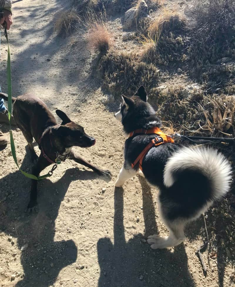 Two friendly dogs greeting each other on the trail at Madera Canyon near Tucson, AZ