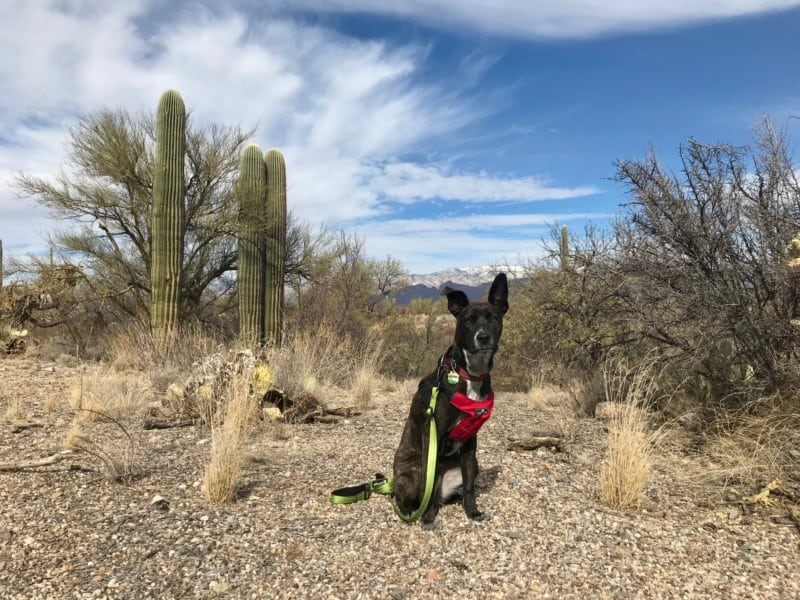 Brindle dog in red harness posing in Saguaro National Park, AZ