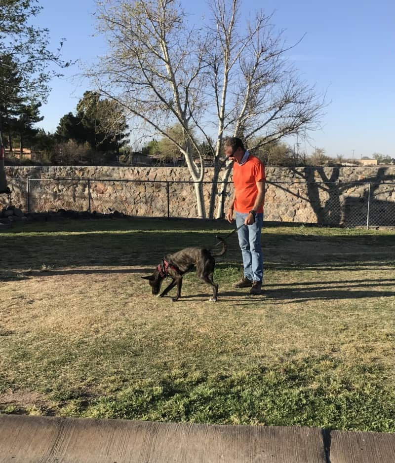 Brindle dog sniffing grass with man holding leash