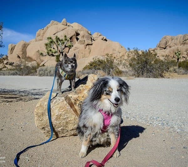 Hiking in Joshua Tree National Park With Dogs