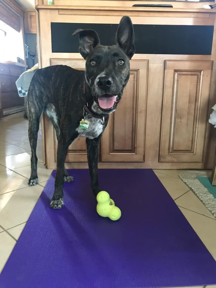 Happy brindle puppy with a stuffed West Paw Zygoflex Tux toy on a yoga mat