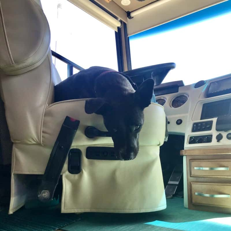 Brindle puppy pouting in the driver's seat of a Winnebago motorhome