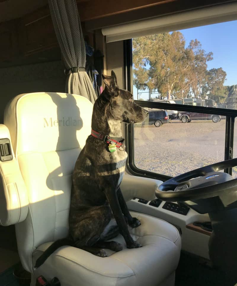 Brindle dog sitting in the driver's seat of a Winnebago motorhome looking out the window