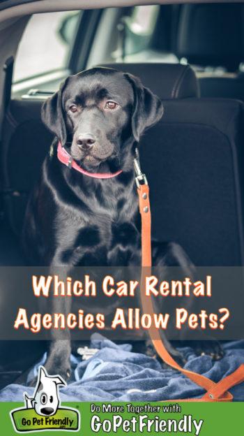 Black lab puppy in a pet friendly rental car