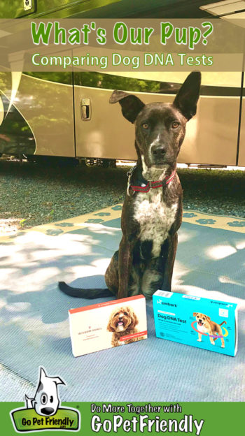 Brindle dog sitting on a blue mat with two dog DNA test kits