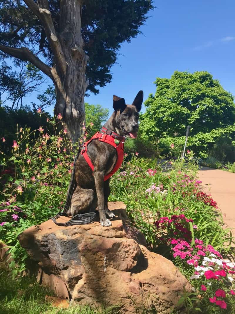 Dog sitting on a rock at the pet friendly Gilcrease Museum gardens in Tulsa, OK