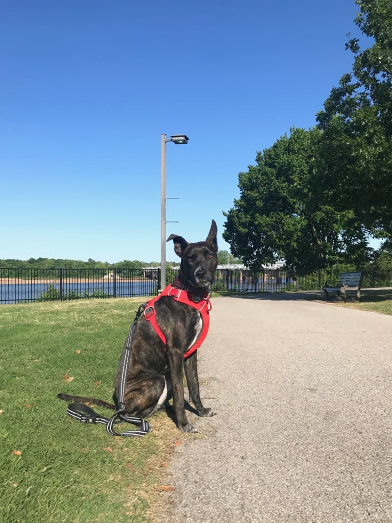Brindle dog in a red harness on the pet friendly trail in River Parks in Tulsa, OK