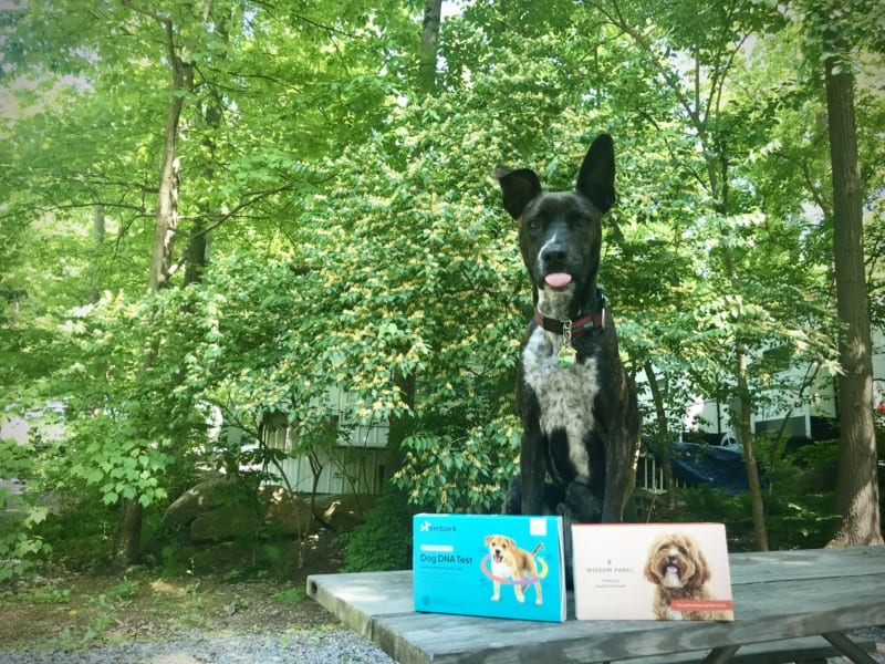 Brindle dog sitting on a picnic table with two dog DNA test kits