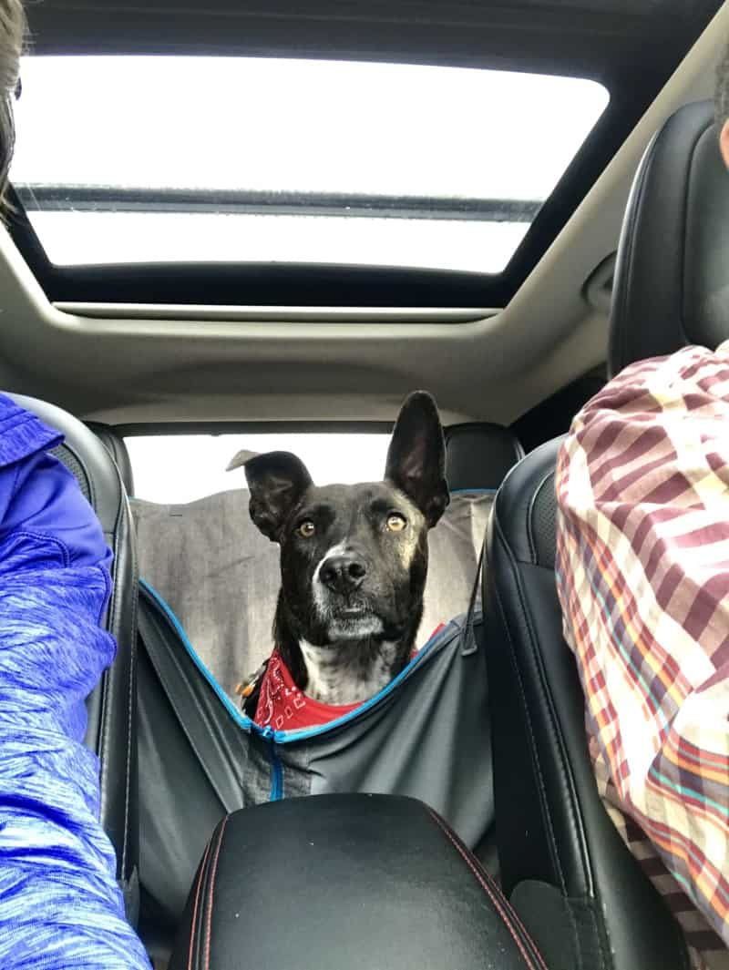 Brindle dog in a red bandana in the back seat of a car