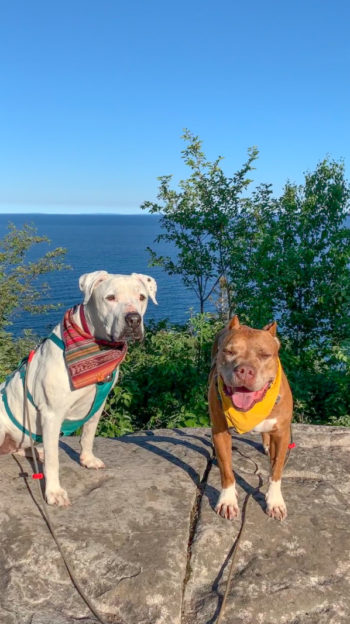 A white dog and a brown dog sitting on a rock surrounded by trees with a view of Lake Superior behind them at Split Rock Lighthouse State Park.