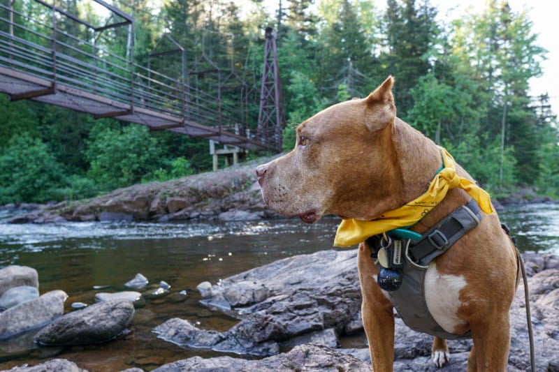A brown dog is standing along a river back in front of a hanging bridge with pine trees in the background at Tettegouche State Park on the North Shore in Minnesota