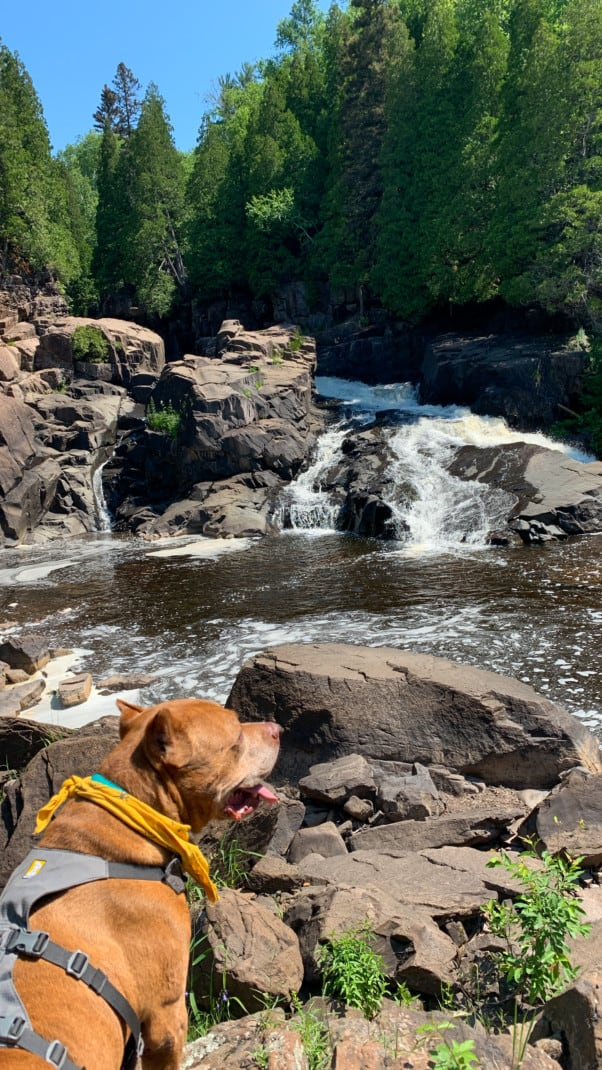 A brown dog in front of a waterfall with pine trees in the background at Tettegouche State Park on the North Shore in Minnesota