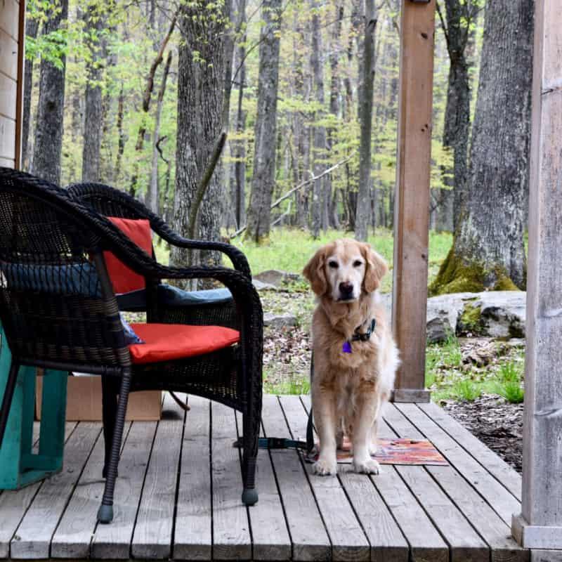 Golden retriever at pet friendly glamping hut