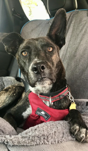 Brindle dog in a car buckled in with a red Sleepypod crash-tested harness